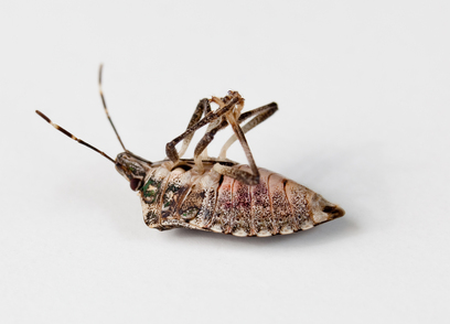 Stink bug lying on back